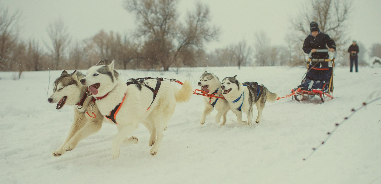 Прогулка с хаски зимой в СПб фото